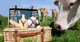 70726-koe-ruikt-aan-picknickmand-met-koeien-op-achtergrond